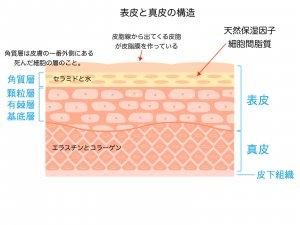 敏感肌 乾燥肌 オイル美容より保湿 美肌になる 肌の構造